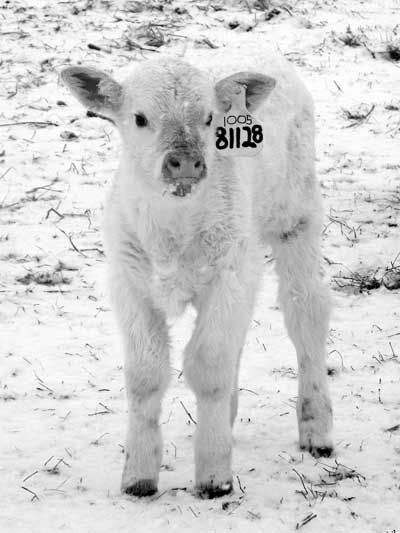Most Iowa calves are born in later winter and early spring. Why?