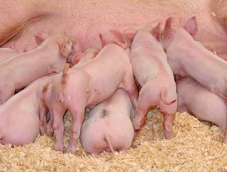 Pig virus a threat to pork supplies?