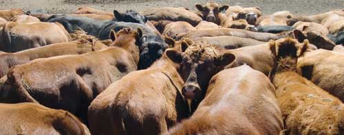 Where will beef prices go?