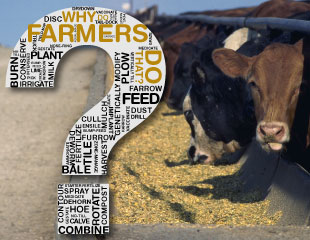 Why farmers feed corn to cattle