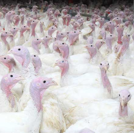 More young turkeys are coming to market, but how soon?